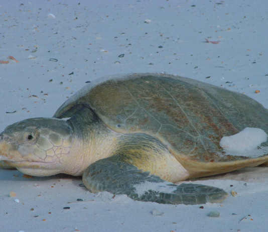 Kemp's ridley sea turtle at Bon Secour Photo courtesy: U.S. Fish and Wildlife Service Southeast Region